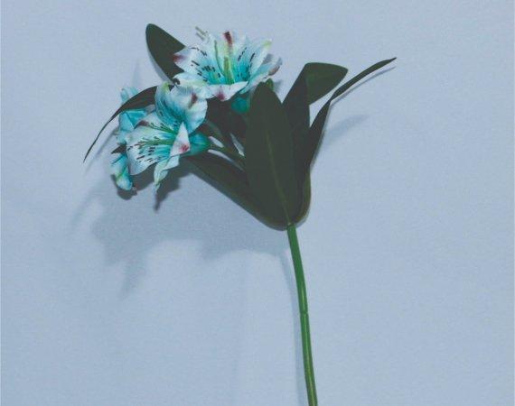Flor Azul Alstromelia